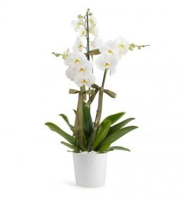 Orkide 3 Dal