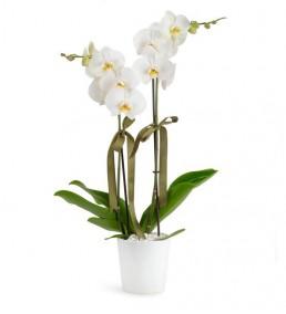 Orkide  Çiftli