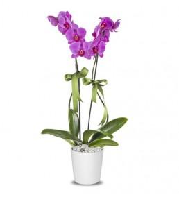 Orkide Mor 2 Dal